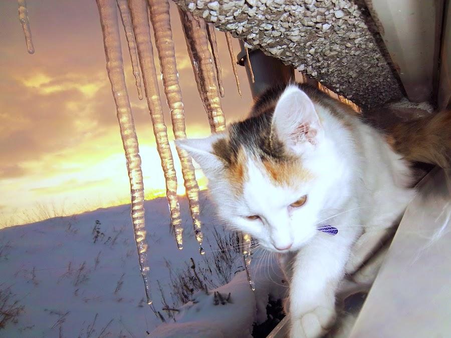 Winter Skye by Keri Stephenson - Animals - Cats Kittens ( scotland, cat, kitten, sunset, snow, white, weather, photography, animal )