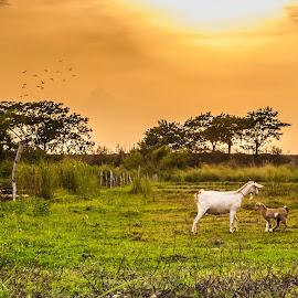 Stay Close by Ynon Francisco - Landscapes Prairies, Meadows & Fields ( farm, field, animals, hacienda, sunset, dusk, tarlac )