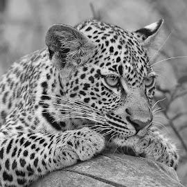 Leopard Cub by Anthony Goldman - Black & White Animals ( leopard, predator, nature, cub .b & w, londolozi, female, big cat, wild, wildlife,  )