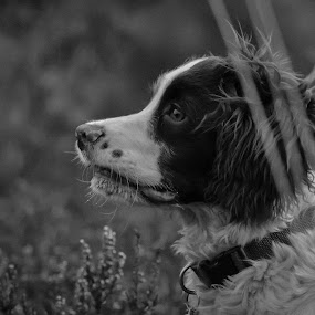 Mali by Hannah Rugg - Animals - Dogs Portraits ( springer spaniel, cute, dog )