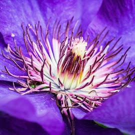 purple  by Ira Mdt - Flowers Single Flower ( flower purple close up macro full bloom )