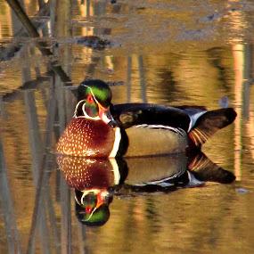 Wood Duck In The Wetlands by Howard Sharper - Animals Birds ( wetlands, duck, marsh, wildlife, birds,  )