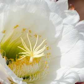 Argentina Cactus by Dave Lipchen - Flowers Single Flower ( argentina cactus )