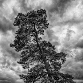 The tree by Peter Hallam - Landscapes Mountains & Hills ( leicester, leicestershire, bradgate, forest, charnood )
