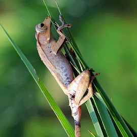 by Saefull Regina - Animals Amphibians