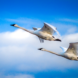 Trumpeter Swan by Udo Weber - Animals Other ( clouds, flight, swans, sky, pair, birds )