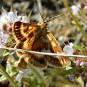 Synaphe pyralid moth