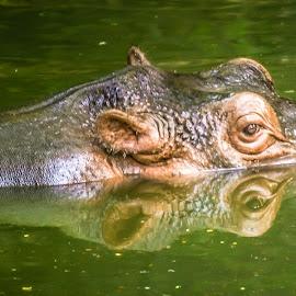 Hippopotamus by Swapnil Keshari - Animals Other Mammals ( reflection, hippopotamus, bath, wildlife, pond )