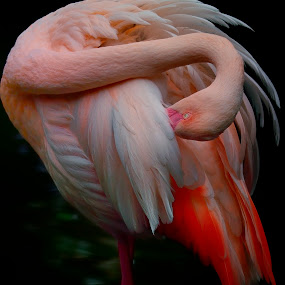 Grooming flamingo by Francois Wolfaardt - Uncategorized All Uncategorized ( contrast, bird, grooming, macro, neck, nature, flamingo, pink, feathers,  )
