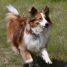Ruby by Chrissie Barrow - Animals - Dogs Running ( tongue, grass, pet, shetland sheepdog, white, ears, fur, dog, nose, tail, running, sheltie, tan, eyes,  )