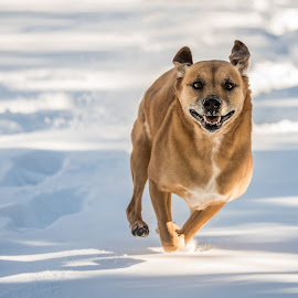 by Michael Last - Animals - Dogs Running