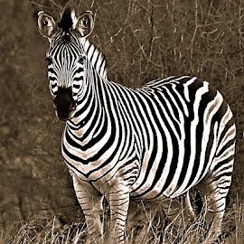 Zebra Mare by Pieter J de Villiers - Black & White Animals ( mammals, animals, plain's zebra, black & white, zebra mare, zebra )