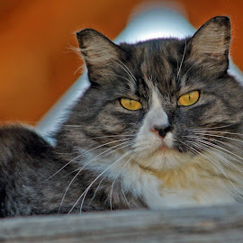 Lofty Farm Cat by Twin Wranglers Baker - Animals - Cats Portraits (  )