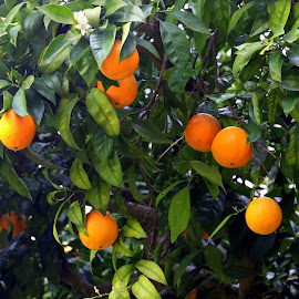 Oranges by Gil Reis - Food & Drink Fruits & Vegetables ( life, bio, nature, colors, fruits, oranges )