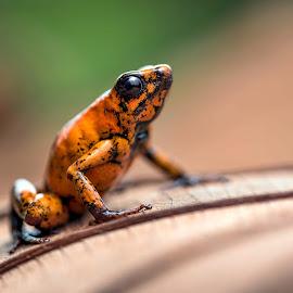On a Leaf by Phyllis Plotkin - Animals Amphibians ( wild, ecuador, nature, choco, frog, amphibian, leaf )