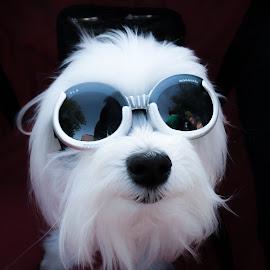 Chillin' in My Ride by Brianne Toma - Animals - Dogs Portraits ( coeur d'alene, north idaho, funny, goggles, car d'lane, nikon, cute, dog, portrait, animal,  )