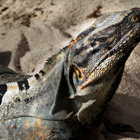 Iguana by Cristobal Garciaferro Rubio - Animals Other ( cancun, sand, mexico, iguana, sea shore )