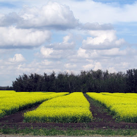Canola Rows by Linda Doerr - Landscapes Prairies, Meadows & Fields ( field, canola, crops, yellow, landscape, rows )