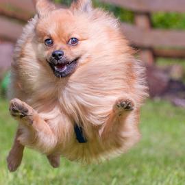 go hugo by Michael  M Sweeney - Animals - Dogs Puppies ( joyfull, joy, puppy, michael m sweeney, run, dog, pomeranian )