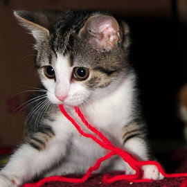 Red Yarn Entanglement by Katelin Welles - Animals - Cats Playing