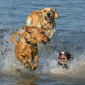 by Harold Blum - Animals - Dogs Playing ( dogs )