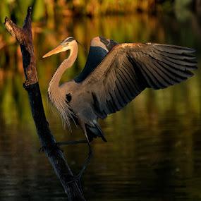 Beauty Revealed by Eric Yiskis - Animals Birds ( bird, wakodahatcheewetlands, wakodahatchee, blue, wings, florida, wildlife, heron, birds )