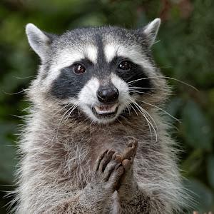 Raccoon 904_DxO.jpg