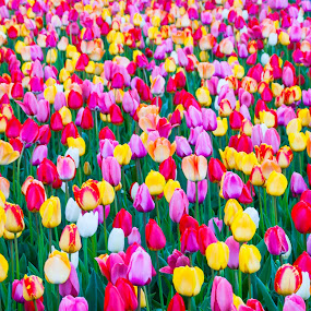 Tulips by Daniel Gorman - Nature Up Close Gardens & Produce ( pwcflowergarden, tulip, gardens, tulips, flowers, garden, flower,  )