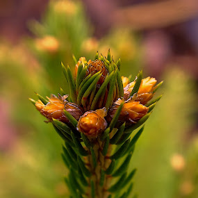 Little spruce by Vláďa Lipina - Nature Up Close Trees & Bushes