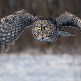 Great Gray Owl by Rolland Gelly - Uncategorized All Uncategorized ( rolland quebec canada )