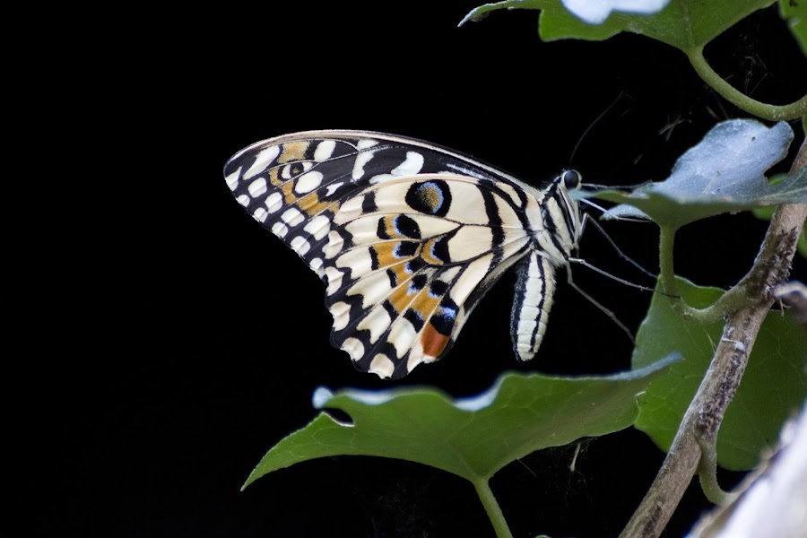 Citrus swallowtail by Pietro Ebner - Animals Insects & Spiders ( butterfly, citrus, tropical, swallowtail, demodocus, papilio,  )