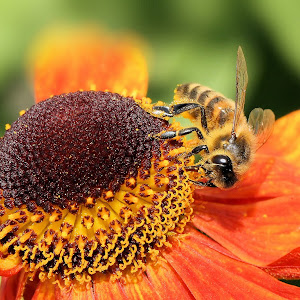 Helenium 'Moerheim Beauty' with honey bee 2.JPG
