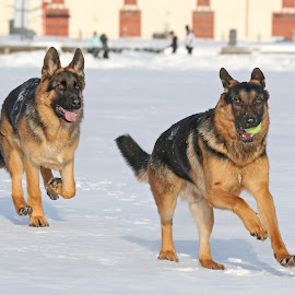 Follow me! by Mia Ikonen - Animals - Dogs Playing ( running, mia ikonen, german shepherd, action, canine, fun, pet, finland )