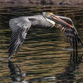 Wing Drag by Shutter Bay Photography - Animals Birds ( bird, bird of prey, brown pelican, pelican, bird photography,  )