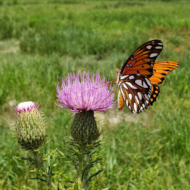 Gulf Fritillary on Texas Thistle 1 by Colin Toone - Instagram & Mobile Android ( orange, butterfly, purple, texas, flower )