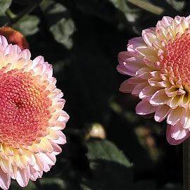 Pompon twins! by Pradeep Kumar - Flowers Flower Gardens