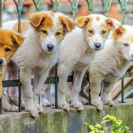 Among the iron fence by Kriswanto Ginting's - Animals - Dogs Puppies ( puppies, dogs, nikon d3100, purple, dog portrait, puppy, dog playing, nikon, dog )