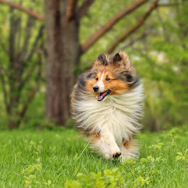 by Jane Bjerkli - Animals - Dogs Running ( green, happy, pet, shetland sheepdog, fur, summer, dog, running, portrait, animal )