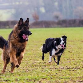 by Paul Scullion - Animals - Dogs Running ( walking, pet, dog, running, mammal, animal )