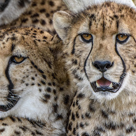 Cheetah Love by William Sawtell - Animals Lions, Tigers & Big Cats ( cheetah, big cats, nature, wildlife, mother and son )