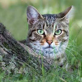 by Dennis Bartsch - Animals - Cats Portraits