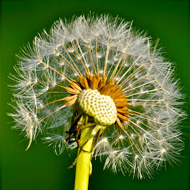Dandelion by Janet Young- Abeyta - Nature Up Close Other plants ( plant, dandelion, weed, dandelion seeds )