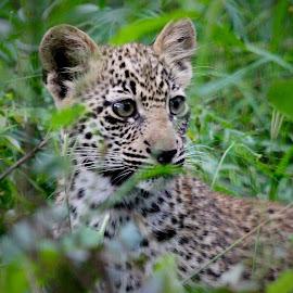 Cub by Sean & Richard Photography - Animals Lions, Tigers & Big Cats ( big cat, predator, carnivore, big cats, wildlife, leopard )