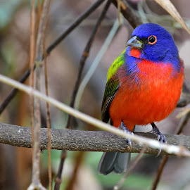 Bright Painted Bunting by Ruth Overmyer - Animals Birds