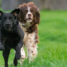 We are not friendly by Artur Szczeszek - Animals - Dogs Running ( two, dogs, running )