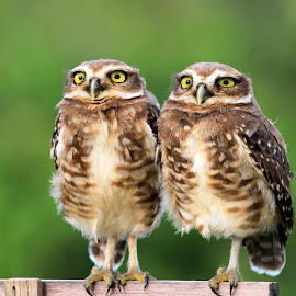 twin ! by Itamar Campos - Animals Birds