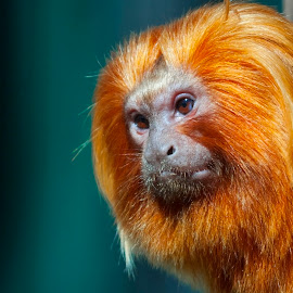 Golden Monkey by Lajos E - Animals Other Mammals ( lion, rosalia, tamarin, south american, primates, head, callithridae, small, monkey, portrait, leontopithecus, golden, primata )