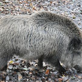 Wild Boar by Carl Purslow - Novices Only Wildlife