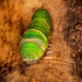 A worm by Azher S Saleh - Animals Insects & Spiders ( worm )