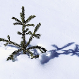 Baby Pine by Marko Ginsberg - Nature Up Close Trees & Bushes ( shadow, snow, pine )